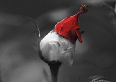 Santa in the Rose garden